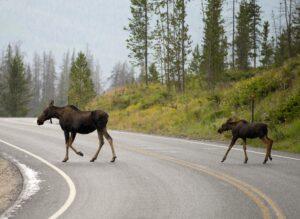 0808-moose-SSH_1124