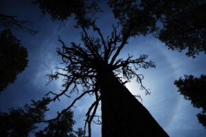 Looking up to the crown of a ponderosa pine.