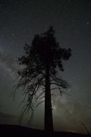 The ponderosa pine.