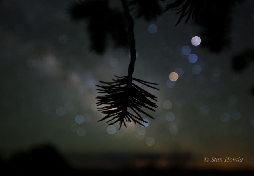 Pinyon pine, Scorpius